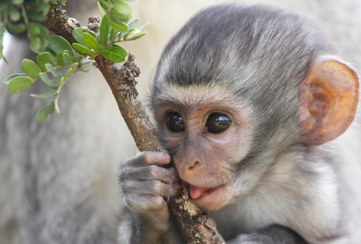 Rehabilitate orphaned baby vervet monkeys