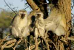 Family of Vervet Monkeys